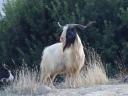 Tough Goat