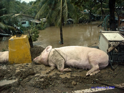 This Pig and the Philippines Were Victims of Climate Change, Not a Typhoon, According to the Philippines President